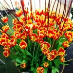 Expozitia de Flori Amsterdam 3