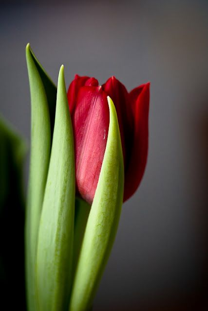 lalele-rosii-blog-floria