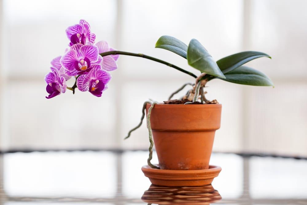 Orhideele plante usor de ingrijit