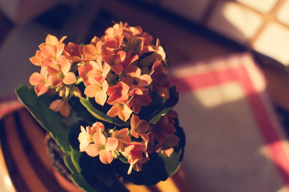 planta usor de ingrijit Kalanchoe